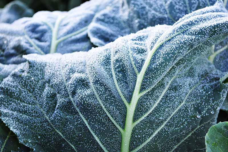 A close up horizontal image of a green leaf covered in a light dusting of frost pictured on a soft focus background.