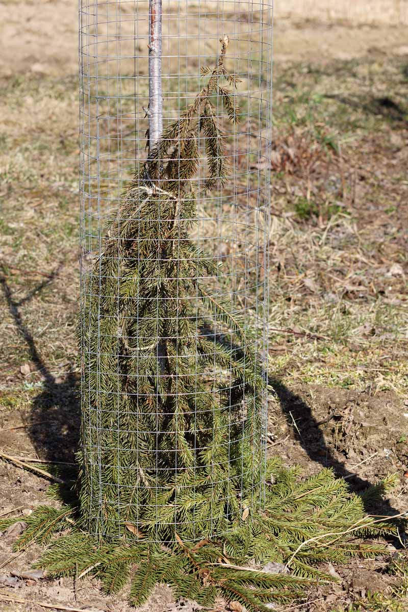 A close up vertical image of a trunk wrapped in spruce bows and metal mesh fencing to protect it from ice and snow, pictured in light sunshine.