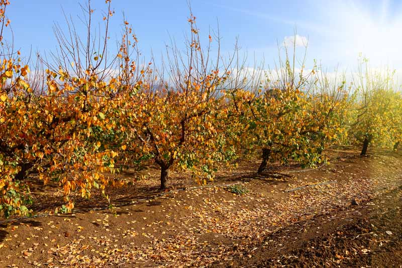 A close up horizontal image of rows of fruit trees in an orchard in the autumn months pictured on a blue sky background.