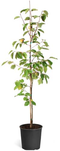 A close up vertical image of a Diospyros kaki tree planted in a black plastic pot pictured on a white background.