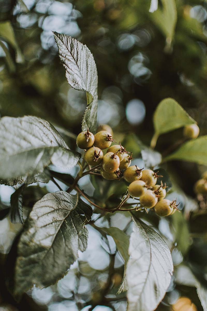 A close up vertical image of the foliage and developing berries of I. verticillata pictured on a soft focus background.
