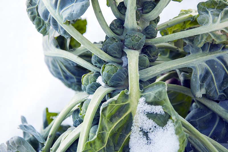 A close up horizontal image of Brassica oleracea var. gemmifera almost ready to harvest covered in a light dusting of snow.