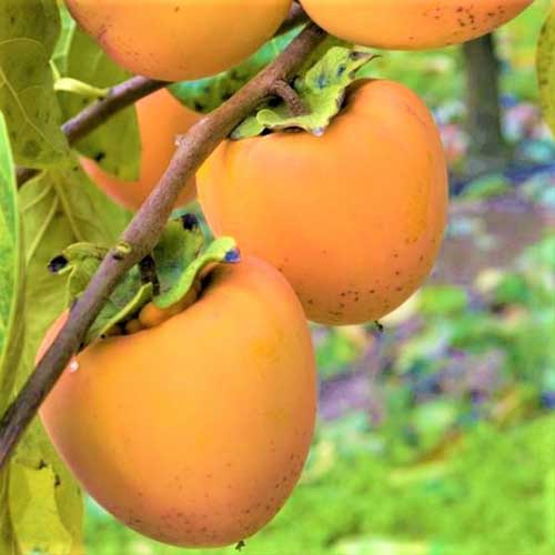 A close up square image of the bright orange fruit of Diospyros kaki 'Hachiya' growing in the garden pictured on a soft focus background.