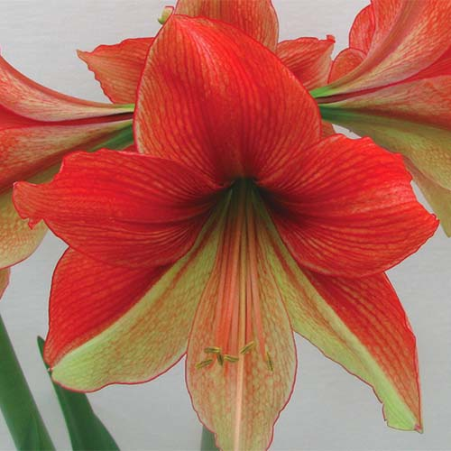 A close up square image of Hippeastrum 'Half and Half' with red and yellow bicolored petals pictured on a soft focus background.