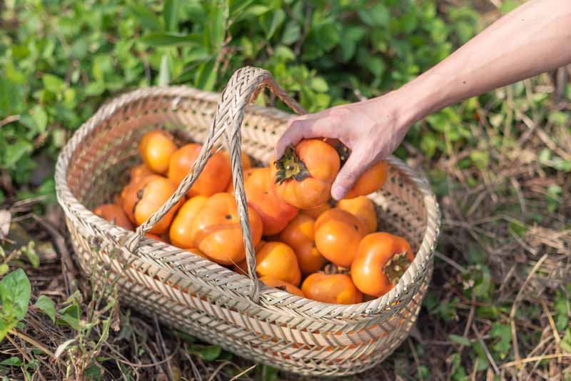 A close up horizontal image of a hand from the right of the frame picking a persimmon out of a wicker basket set on the ground.