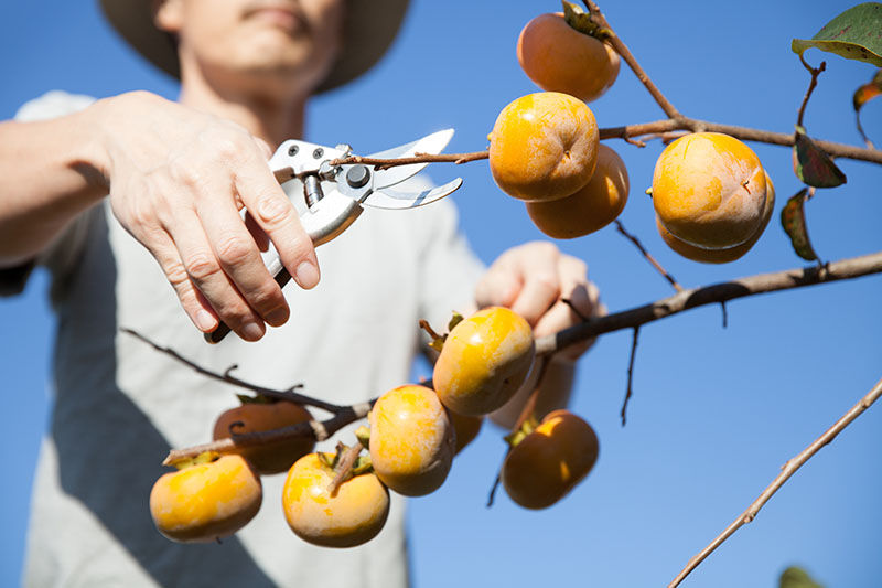 A close up horizontal image of a hand from the left of the frame holding a pair of pruners harvesting ripe Diospyros kaki fruit pictured in bright sunshine with blue sky in the background.