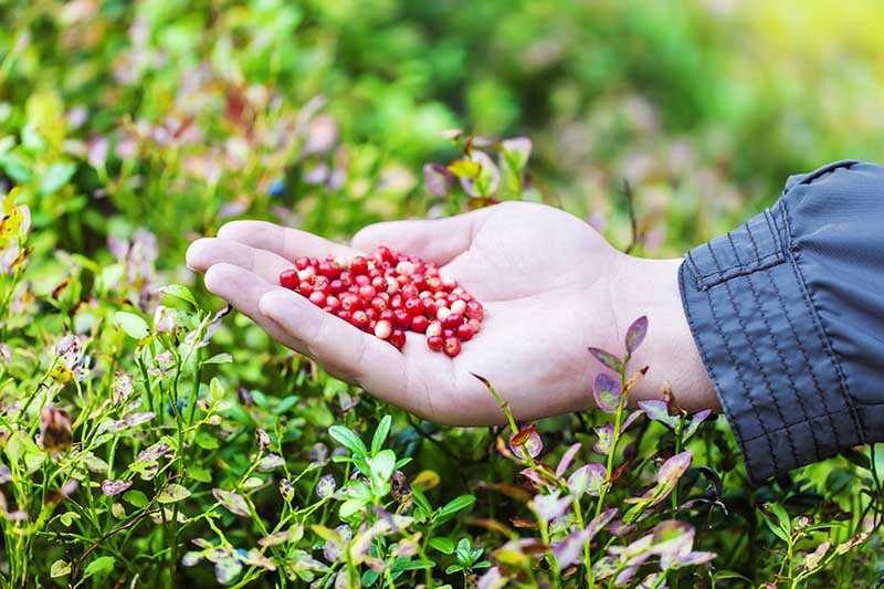A close up horizontal image of a hand from the right of the frame holding freshly harvested cranberries, pictured on a soft focus background.