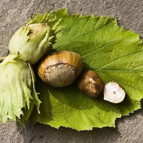 A close up square image of freshly harvested hazelnuts set on a leaf on a concrete surface.