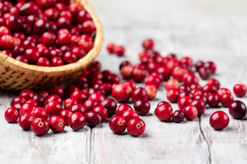 A close up horizontal image of a wicker basket filled with fresh cranberries spilling out onto a wooden surface pictured on a soft focus background.