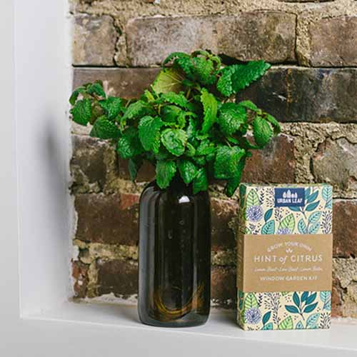 A close up square image of the Hint of Citrus indoor growing kit showing a bottle with lemon balm set against a brick wall.
