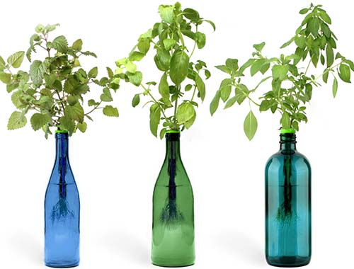 A close up horizontal image of three bottles growing herbs pictured on a white background.
