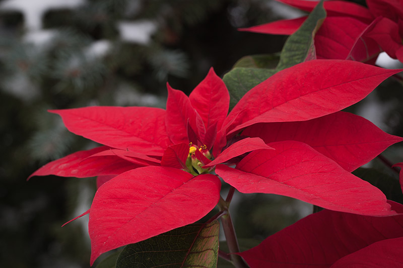 A close up horizontal image of the bright red bracts of a poinsettia plant pictured in a snowy winter landscape on a soft focus background.
