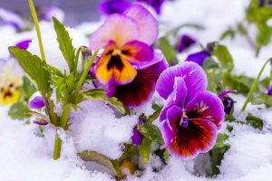How to Care for Pansies in Winter