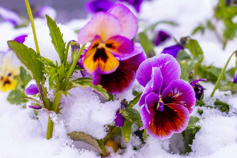 A close up horizontal image of bright purple and orange bicolored flowers growing in the snow pictured in light sunshine on a soft focus background.