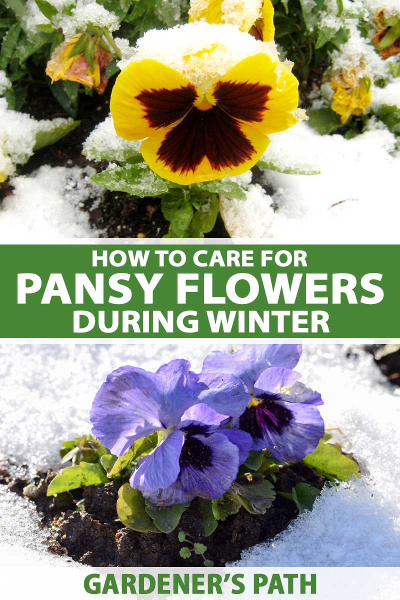 A close up vertical image of bright yellow and purple flowers growing in the snow pictured in bright sunshine. To the center and bottom of the frame is green and white printed text.