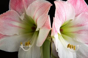 How to Grow and Care for Amaryllis Flowers