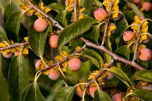 How to Grow American Persimmons
