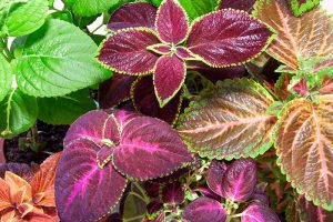 How to Grow Coleus in Your Garden
