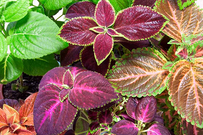 A close up top down horizontal image of different types of coleus plants with colorful foliage pictured in bright sunshine.