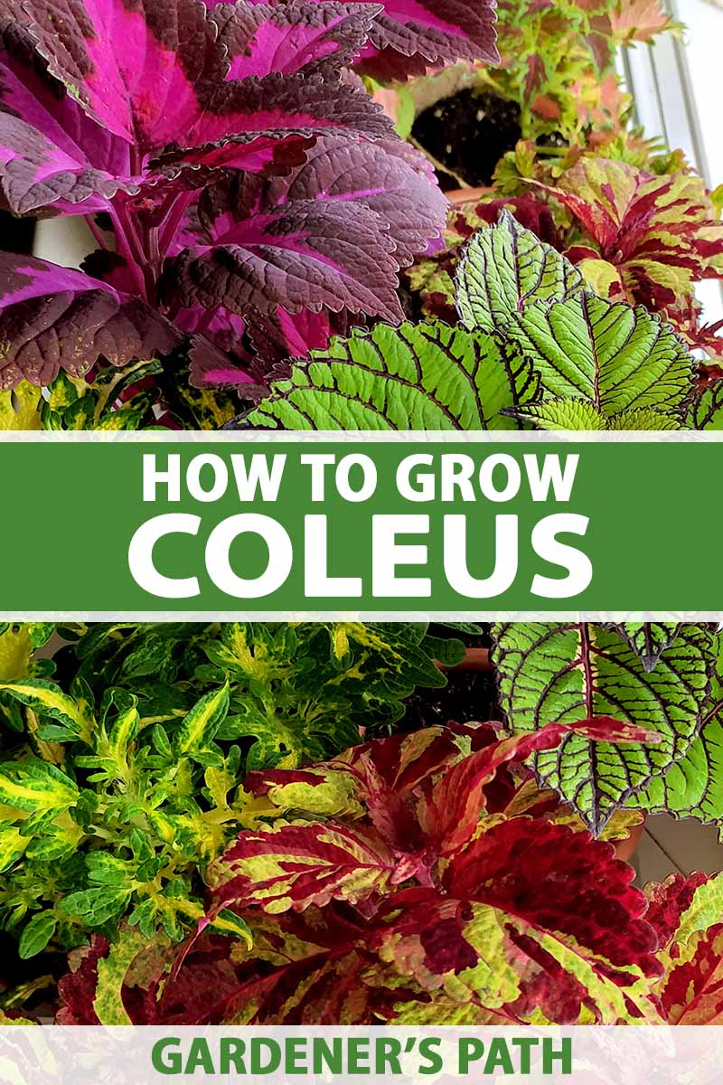 A close up horizontal image of different coleus plants with variegated, colorful foliage. To the center and bottom of the frame is green and white printed text.