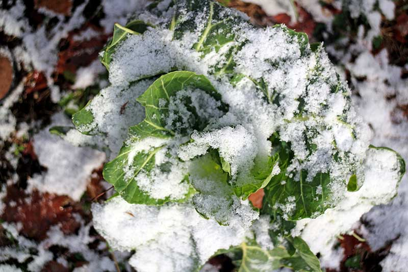 A close up horizontal image of Brassica oleracea var. acephala growing under a light coat of snow, pictured in filtered sunshine on a soft focus background.