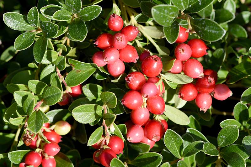 A close up horizontal image of ripe red berries of Vaccinium macrocarpon growing in the garden ready for harvest, pictured in bright sunshine.