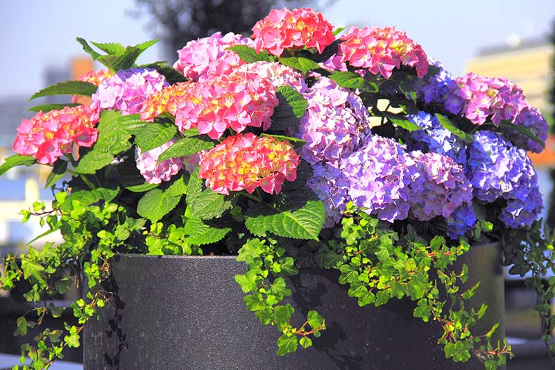 A close up horizontal image of a dark gray planter with bright blue and pink flowers pictured in bright sunshine on a soft focus background.