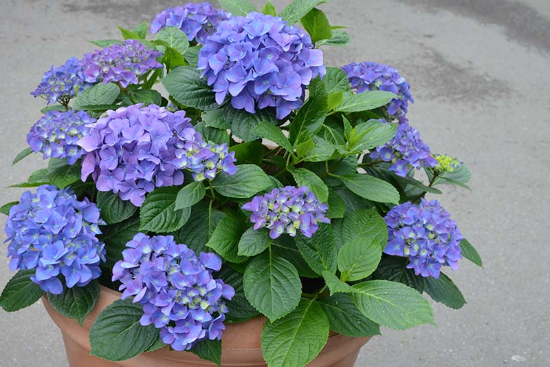 A close up horizontal image of a a shrub with blue flowers growing in a terra cotta container set on a concrete surface.