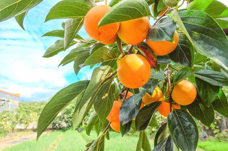 A close up horizontal image of orange Diospyros kaki fruits ripening on the tree in the pictured on a blue sky, soft focus background.
