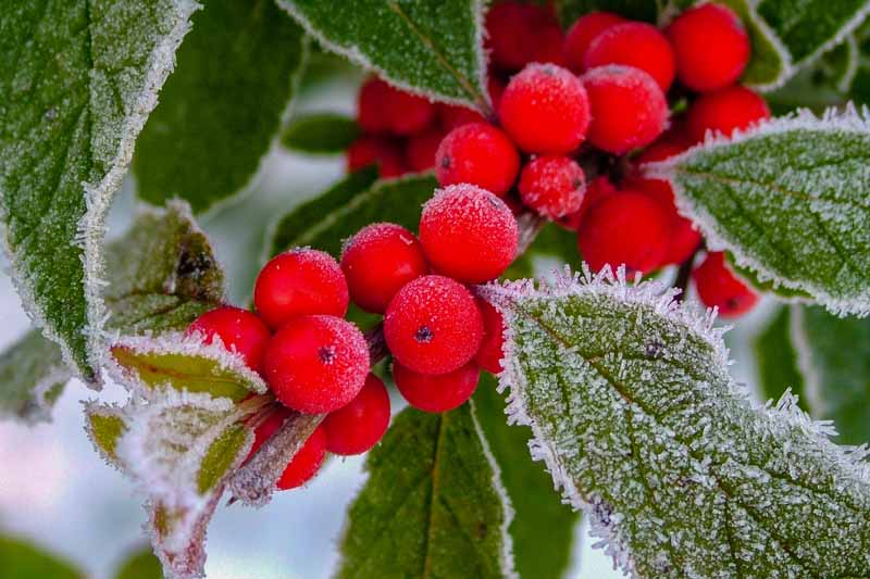 A close up horizontal image of bright red berries covered in a light dusting of frost pictured on a soft focus background.