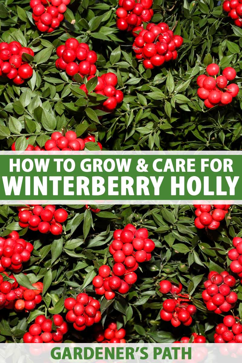 A close up vertical image of the bright red berries of winterberry holly, Ilex verticillata, growing in the garden pictured in light sunshine. To the center and bottom of the frame is green and white printed text.
