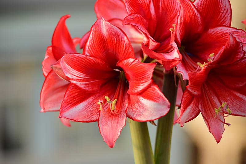 A close up horizontal image of the dramatic red flowers of Hippeastrum growing indoors pictured on a soft focus background.