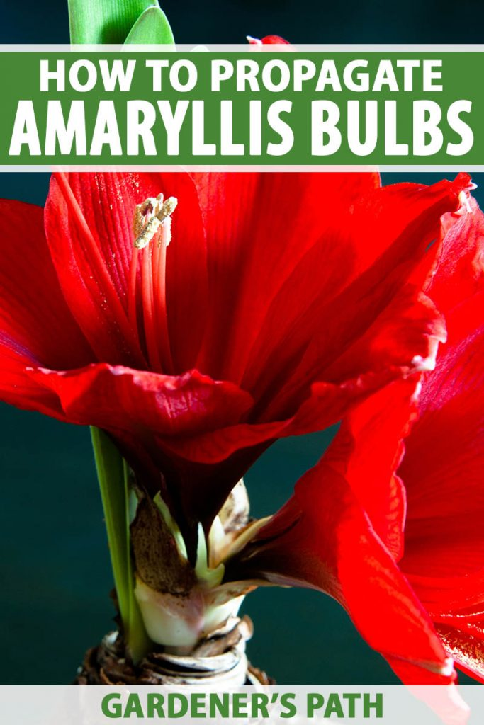 A close up vertical image of a bright red Hippeastrum flower pictured on a soft focus background. To the top and bottom of the frame is green and white printed text.
