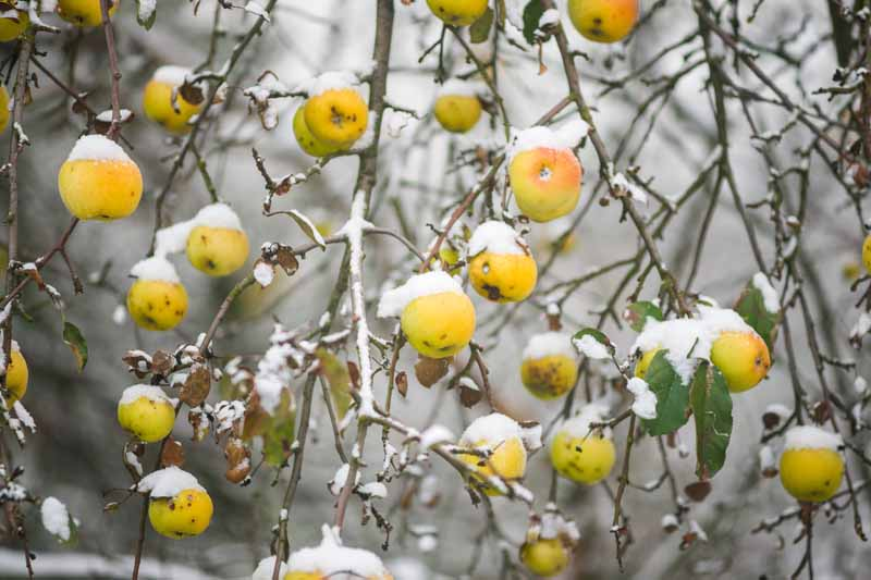 A close up horizontal image of an apple tree in the winter with snow on the branches and fruits pictured on a soft focus background.