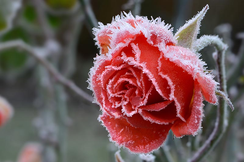 A close up horizontal image of a red rose bloom covered in frost pictured on a soft focus background.