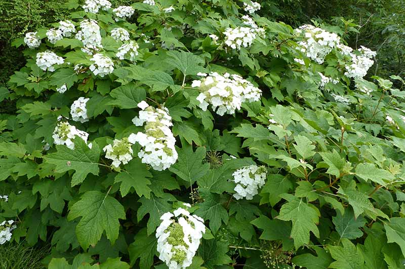 A close up horizontal image of Hydrangea quercifolia with white flowers, growing in the garden.