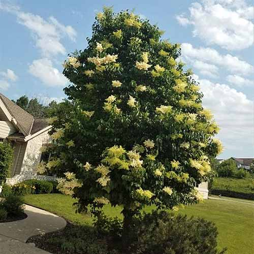A square image of a large Syringa vulgaris 'Ivory Silk' growing in a garden border with blue sky and a house in the background.