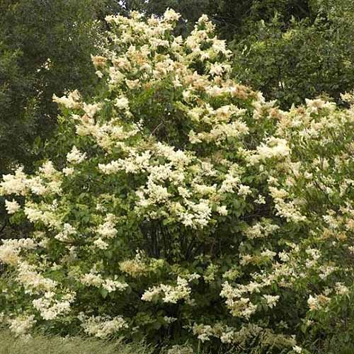 A close up square image of a large Japanese lilac shrub growing in the garden pictured in light sunshine.