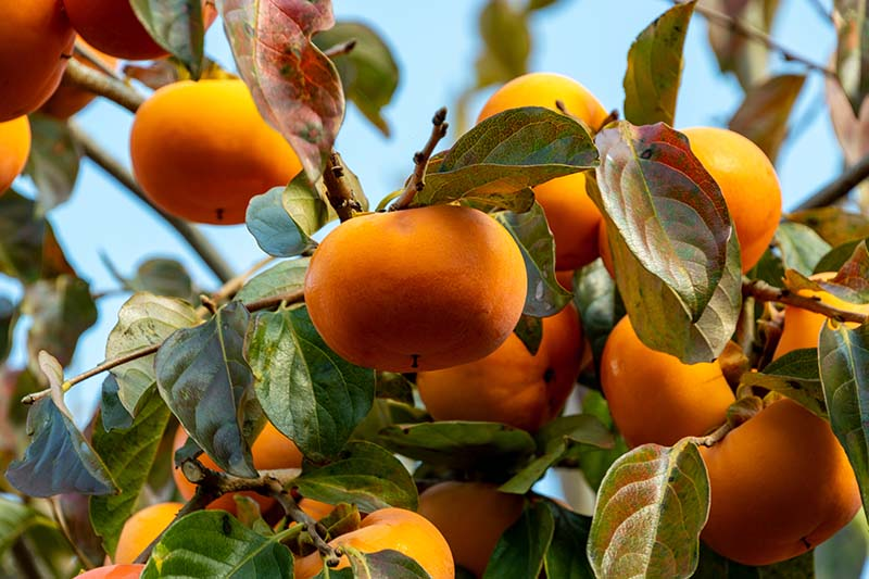 A close up horizontal image of ripe orange Diospyros kaki growing in the garden pictured in light sunshine on a blue sky background.