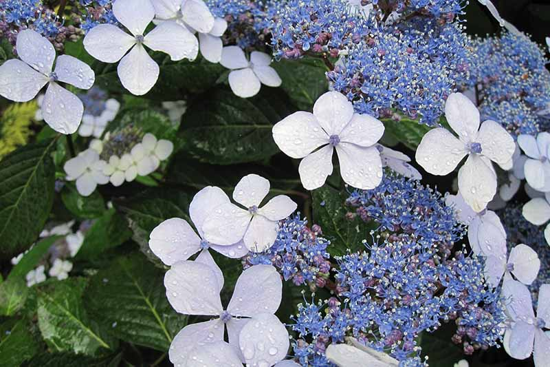 A close up horizontal image of the blue flowers of a lap cap hydrangea growing in the garden pictured on a soft focus background.