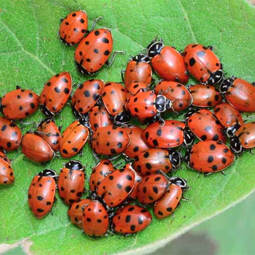A close up square image of a cluster of ladybugs on a green leaf.