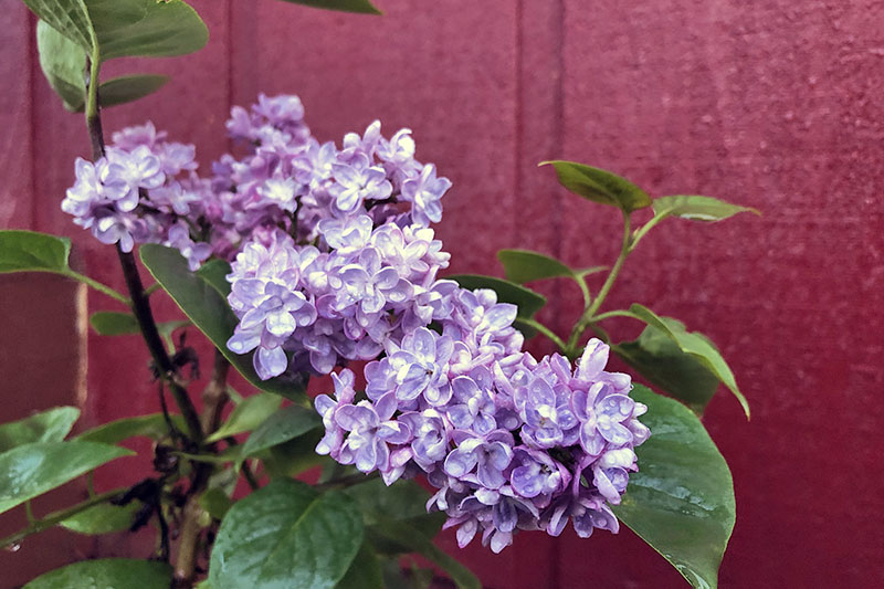 A close up horizontal image of a light purple flower growing against a red wooden house.