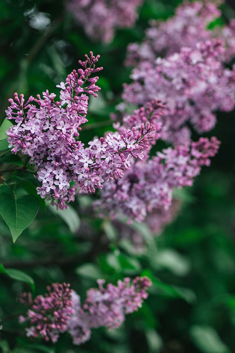 A close up vertical image of bright purple Syringa vulgaris growing in the garden pictured on a soft focus background.