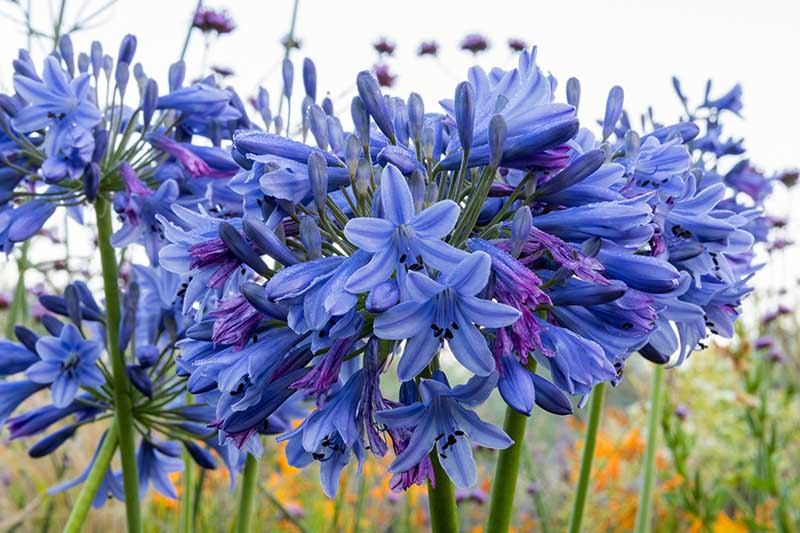 A close up horizontal image of deep blue 'Margaret' flowers growing in the garden pictured in light sunshine on a soft focus background.