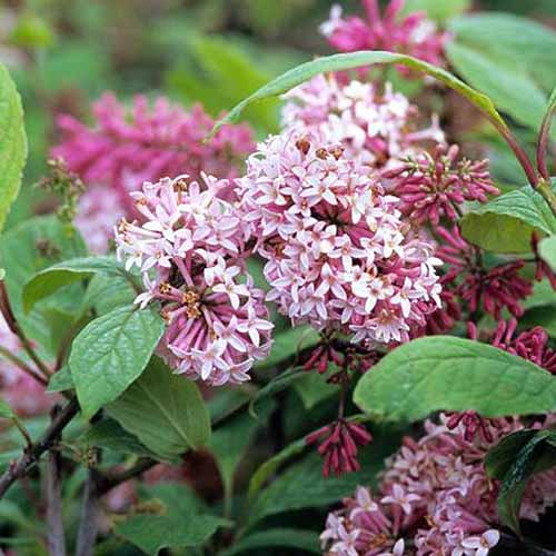 A close up square image of Syringa vulgaris 'Miss Canada' with pink flowers pictured on a soft focus background.