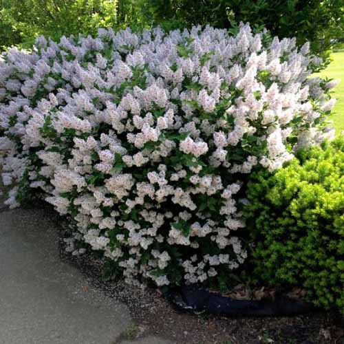 A close up square image of Syringa vulgaris 'Miss Kim' growing in the garden next to a concrete pathway.