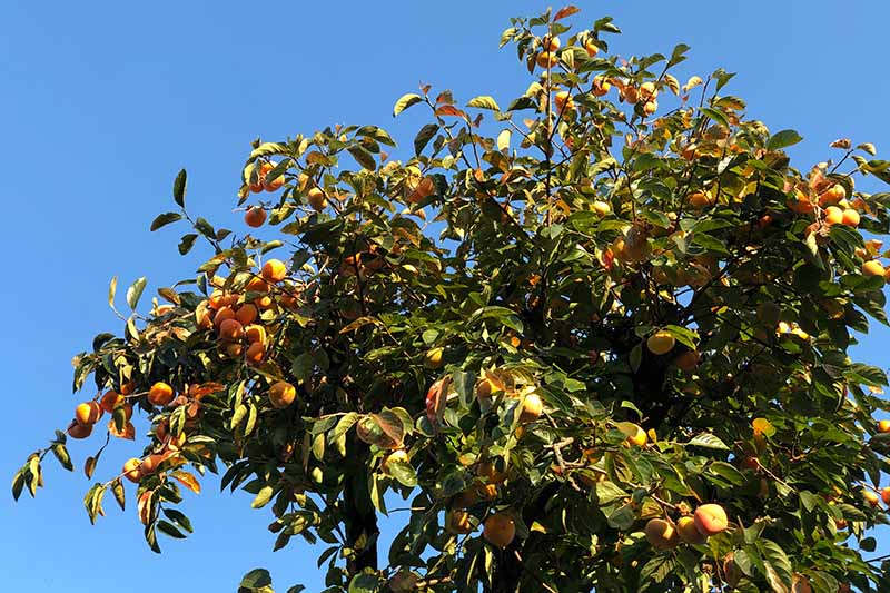 A close up horizontal image of a large Diospyros kaki tree growing in the garden laden with fruit pictured on a blue sky background.