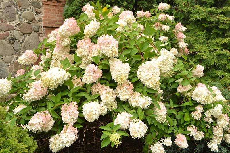 A close up horizontal image of a large panicled bush hydrangea with white flowers growing in the garden outside a stone house.