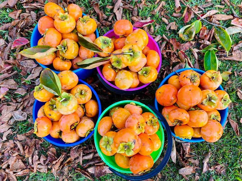 A close up horizontal image of colorful buckets filled with freshly picked fruit set on the ground in the garden.