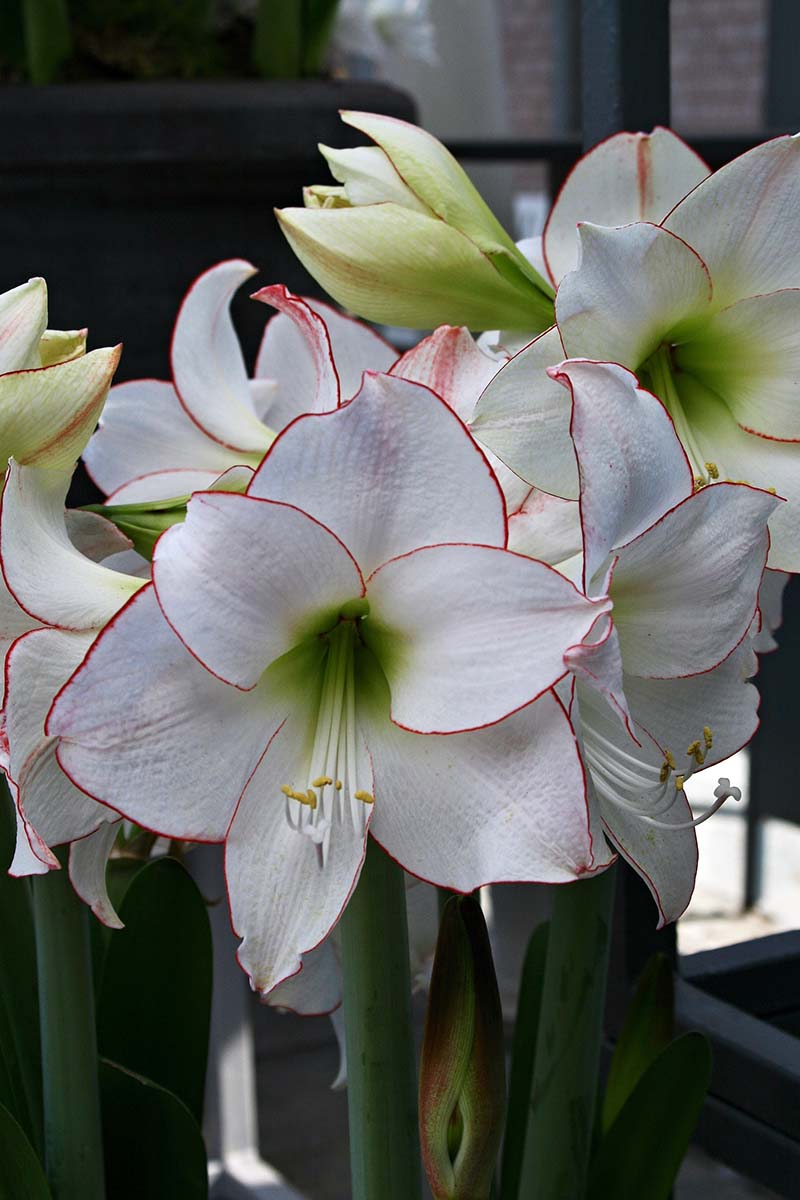 A close up vertical image of amaryllis 'Picotee' growing indoors pictured on a soft focus background.